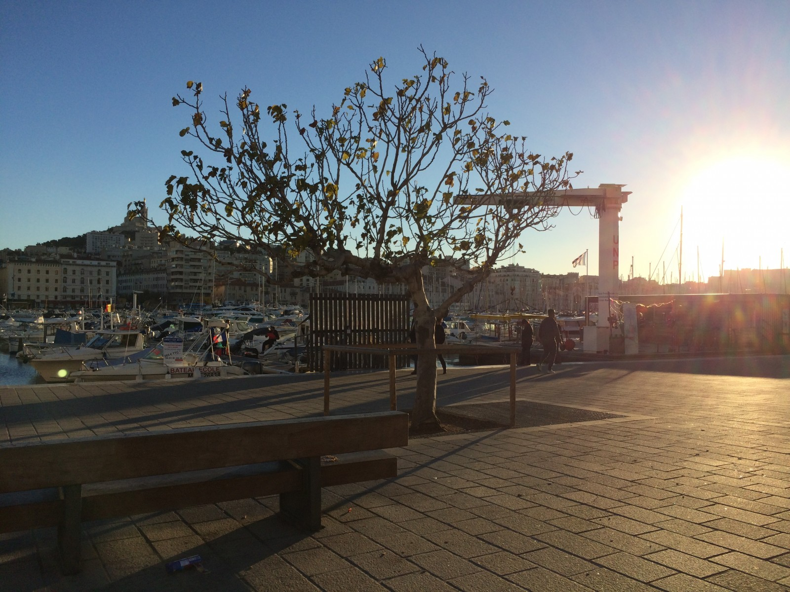 Le figuier du Vieux-Port de Marseille. ©MD