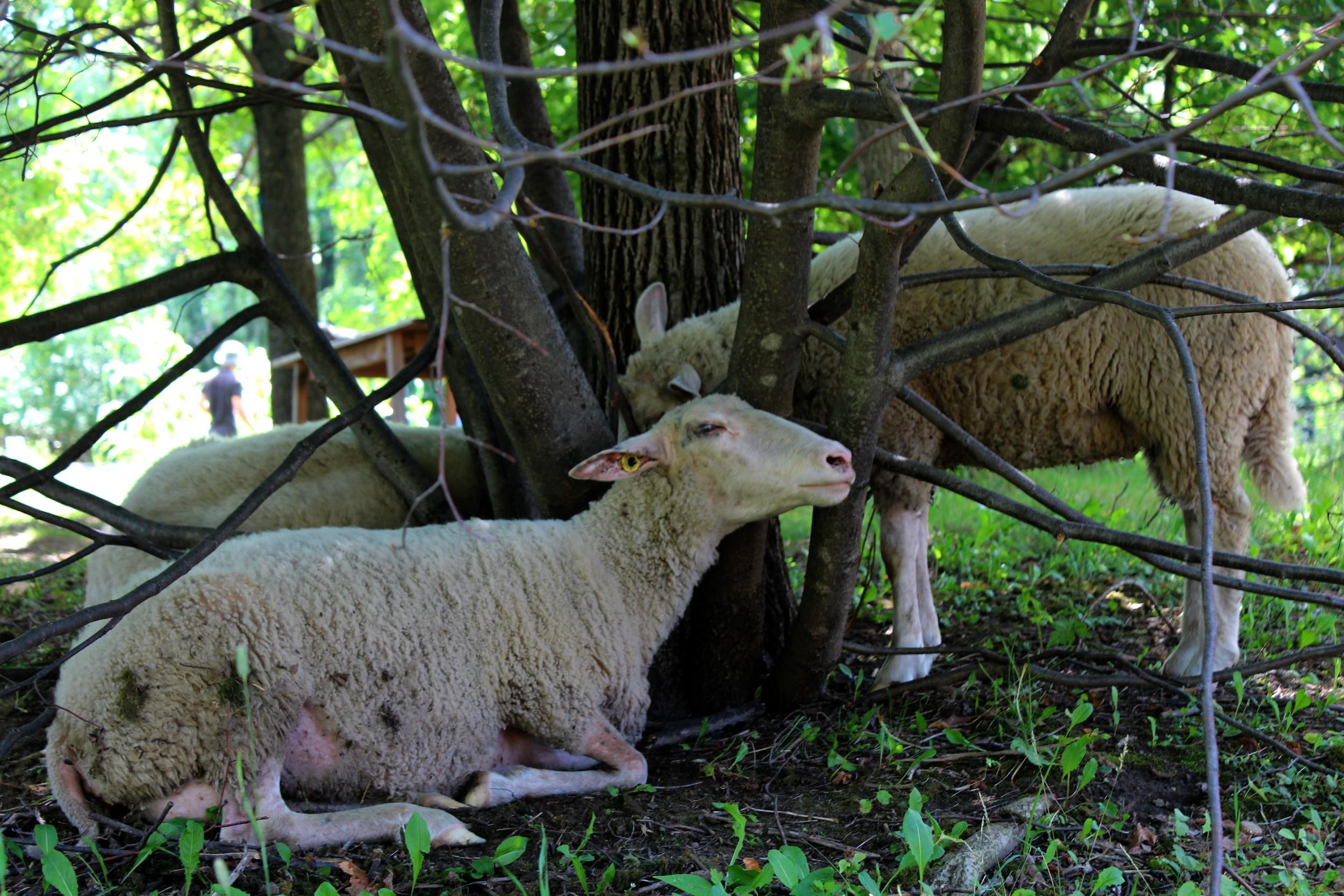 Les 10 moutons sont en liberté mais toujours accompagnés de bergers bénévoles. ©AL